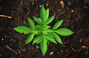 cannibis_marijuana
