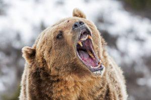bear_fang-5c1357e7c9e77c00010f3c9f