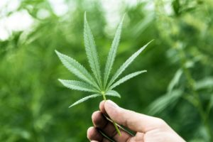 hand-holding-marijuana-leaf-with-cannabis-plants-in-background-821837594-5a4d80c9aad52b00369731ca